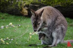 Während Mutter Pandora sich die Weidenkätzchen schmecken lässt, lugt der Nachwuchs neugierig heraus. (Foto: th)