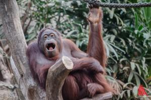 """Orang-Utan Dame """"Mandi"""" hat einen neuen Paten. (Foto: th)"""
