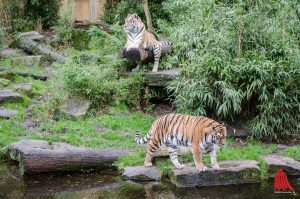 Die Tiger sind zurück im Allwetterzoo. (Foto: th)