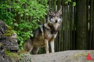 Europäischer Grauwolf im Allwetterzoo Münster. (Foto: th)